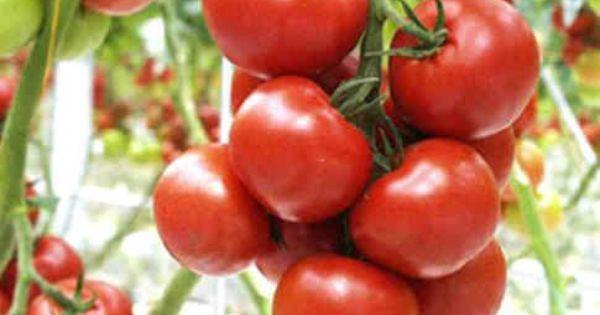 tomaten echte gezondheidsbommetjes boordevol b tacaroteen beschermt tegen vrije radicalen. Black Bedroom Furniture Sets. Home Design Ideas
