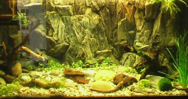 One Of The Most Authentic South American Cichlid Tank Exquisite American Cichlid Cichlids African Cichlids