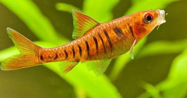 Barbus Fasciolatus 5 Aquarium Fish Tropical Fish Ocean Dwellers