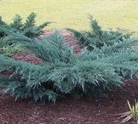 Grey Owl Juniper Full Sun Fast Growing Landscaping On A Hill Evergreen Shrubs Landscape
