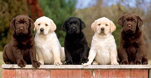 Massachusetts Labrador Retriever Breeder Georgetown Labradors Labrador Retriever Puppies Labrador Retriever Labrador Retriever Dog