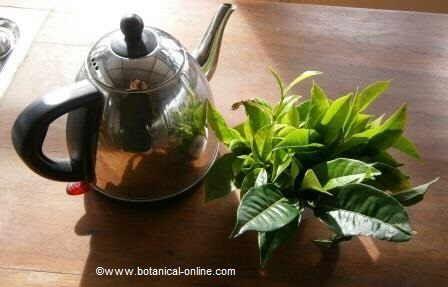 té encarnado propiedades medicinales