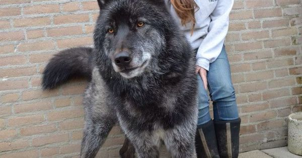 """Hybrid03: Wold Hybrid: A wolfdog (also called a wolf–dog hybrid or wolf hybrid) is a canid hybrid resulting from the mating of a gray wolf (various Canis lupus subspecies) and a dog (Canis lupus familiaris). The term """"wolfdog"""" is preferred by most o..."""