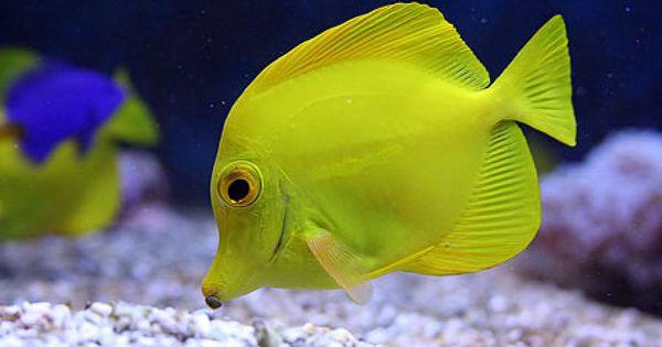 Peces de agua fria buscar con google peces pinterest for Criaderos de peces de agua fria
