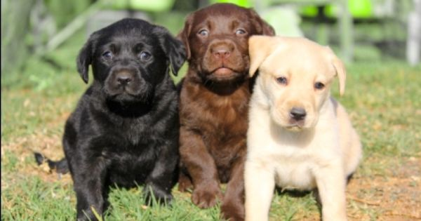 Labrador Retriever Puppies For Sale Labrador Retriever Dog