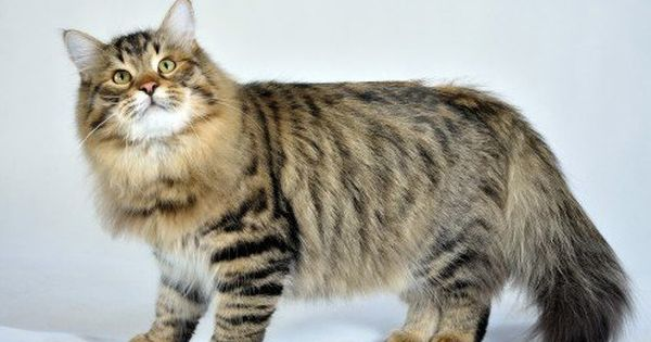Hereditary Diseases Of The Siberian Forest Cat Siberian Cat Siberian Forest Cat Siberian Cat Breeders