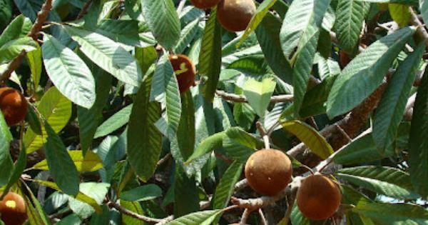 Bapeba Frutas Exoticas Arvore De Frutas Frutas Brasileiras
