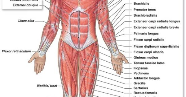 musculoskeletal system diagram | diagram picture | chinmyi, Muscles