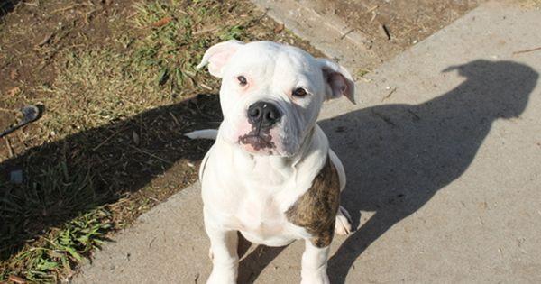 American Bulldog Puppy For Sale In Rio Linda Ca Adn 53567 On