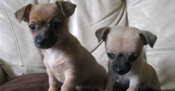 Chihuahua Jack Russell Mix Puppies For Sale Chihuahua X Jack
