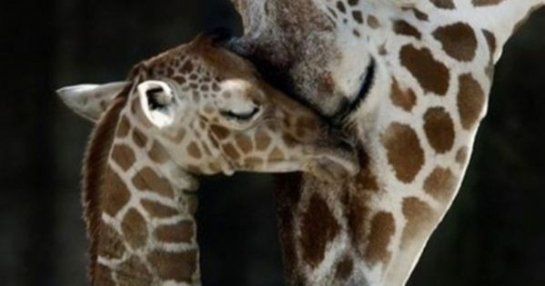 animals, giraffe, love - inspiring picture on Favim.com