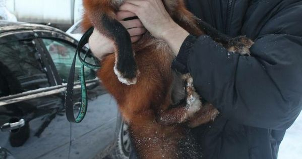 A research group in russia spent the last 20-30 years breeding foxes