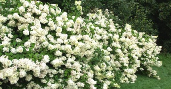 hydrangea paniculata 39 grandiflora 39 voidaan varttaa pieneksi puuksi villa kala kalle pinterest. Black Bedroom Furniture Sets. Home Design Ideas