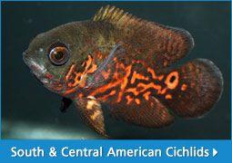Mimic Lemon Peel Tang 40 In 2020 Marine Fish Fish Pet Aquarium Fish