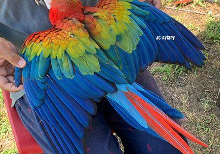 Hybrid Macaw 178477 For Sale In Austin Tx Macaw Bird Species Wolf Dog