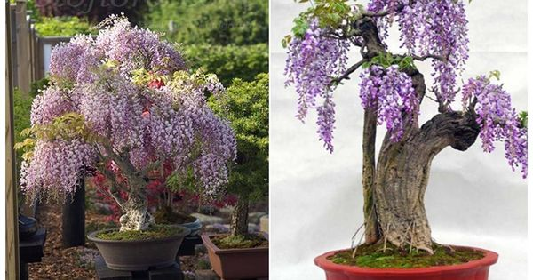 Purple Wisteria Bonsai trees.