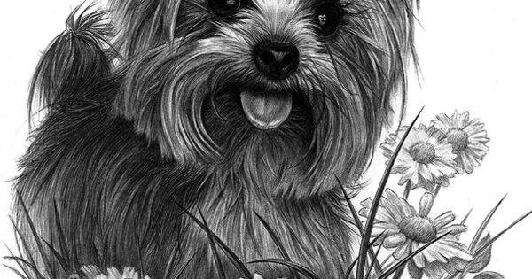 Line Art Yorkie : Pen drawing of a yorkie dogs cats pinterest