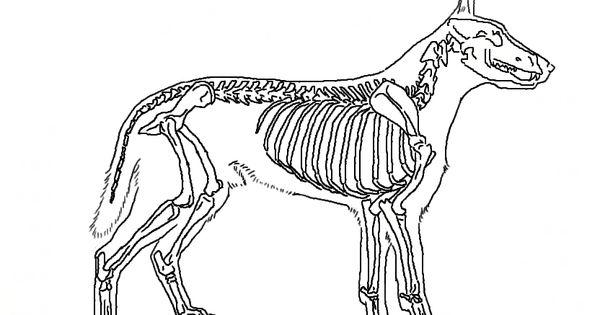 犬の骨格 全身 犬の整体 研究所 犬の解剖学 動物 図鑑 犬