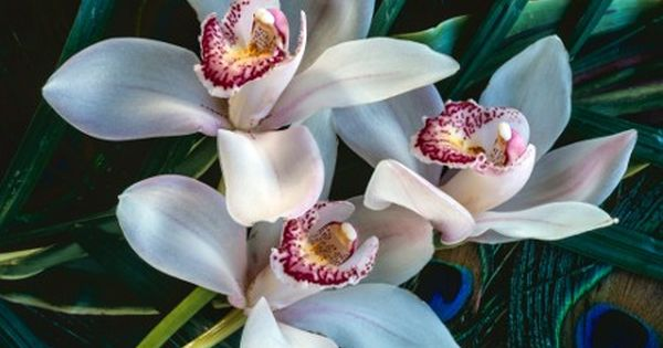 Orchid Flower Meaning And Symbolism A Really Interesting Read With Images Orchid Flower Orchids Cymbidium Orchids