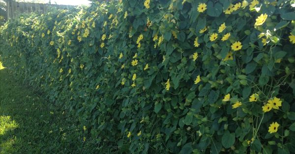 How To Hide An Ugly Chain Link Fence Black Eyed Susan