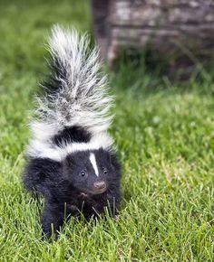Cuteness Alert A Baby Skunk In The Grass Baby Skunks Skunk Repellent Skunk