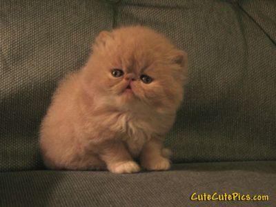Flat Faced Kitten Cat Allergies Flat Faced Cat Kittens Cutest