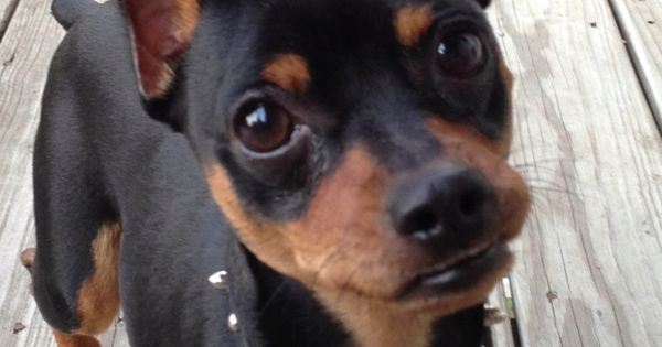 Min Pin Love The Snarl Miniature Pinscher Miniature Doberman