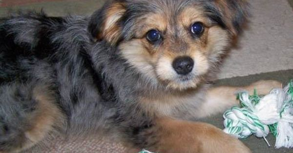 Benny The Pomeranian Yorkie Mix Yorkie Mix Mixed Breed Dogs Cute Dogs