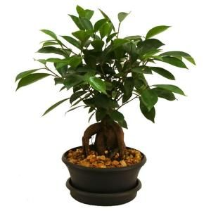 Brussel S Bonsai Outdoor Chinese Elm Ct 9005ce The Home Depot Ficus Plants Hanging Plants Indoor