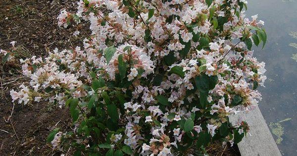 Dipelta floribunda arbustes divers pinterest arbuste - Comment detruire une souche d arbre ...