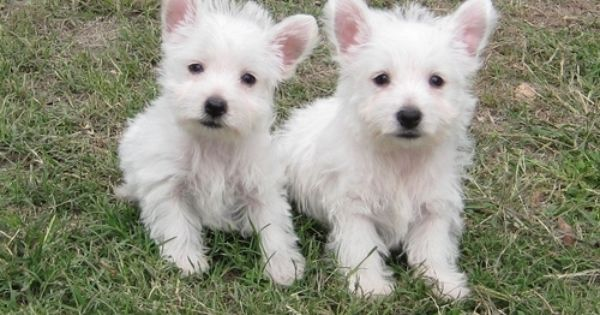 Health Certificate Health Guarantee West Highland White Terrier