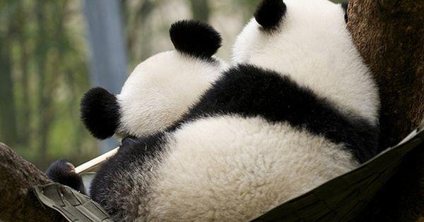 #mother baby panda love fun gorgeous