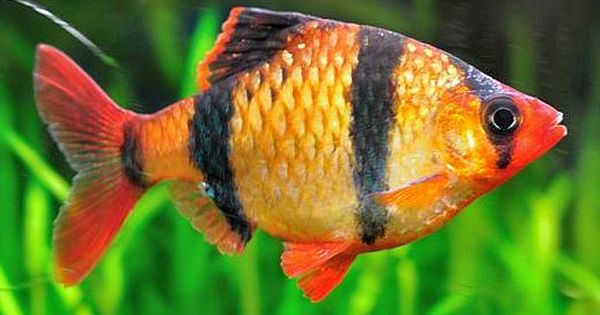 Tiger Barbs Are A Silver Gold To Brownish Yellow Fish With Four Vertical Black Stripes On It S Body Aquarium Fish Fresh Water Fish Tank Beautiful Tropical Fish