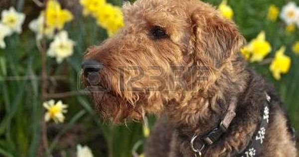 Airedale Airedale Terrier Dog Sniffing The Aird In A Spring Setting With Daffodils Stock Photo Stock Photos Photo Airedale Terrier
