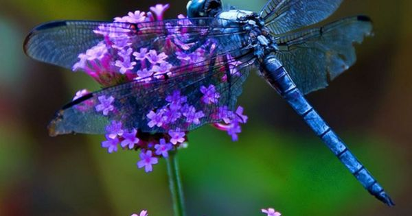 Amazing Photos of a Blue Dragonfly on a purple flower