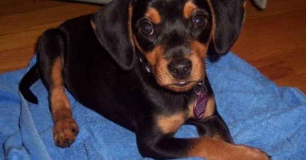Meagle Meagles Beagle Min Pin Hybrid Mixed Breed Puppies Dog Breeds Beautiful Dogs