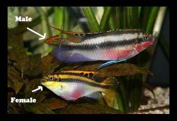 Sexing Kribensis Cichlid Fish Cichlids Aquarium Fish