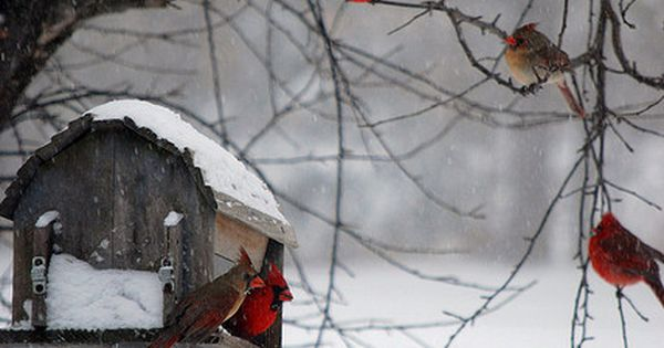 cardinals | - Winter Wonderland