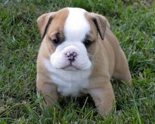 Beagle Bulldog Mix Cute Little Animals Dog Breed Info Mixed