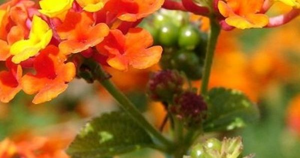 Kwiaty Na Sloneczny Balkon E Ogrodek Lantana Lantana Plant Plants