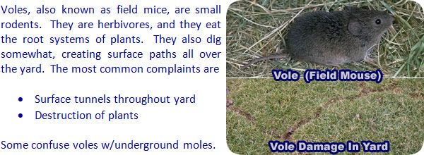 686311341303a21f4d315a7bc2eb547b - How To Get Rid Of Voles Without Killing Them