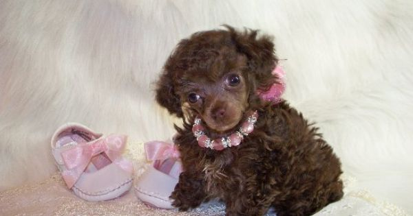 Brown Teacup Poodle www.southernladysredpoodles.com | Can ...