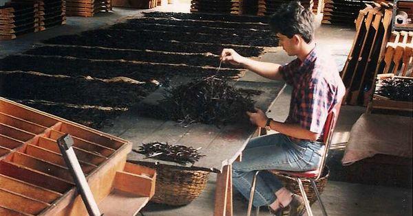 Vanilla bean selecting process in madagascar spices for Plantation beuh exterieur