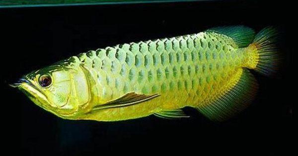 Green Arowana Fish Pet Fish Dragon Fish