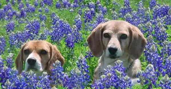 The Beagle Bonnets Are In Bloom Must Be From Texas Puppies And