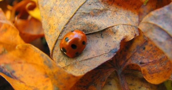 How To Get Rid Of Asian Beetles In The House Ehow Asian Beetle Beetle Lady Beetle