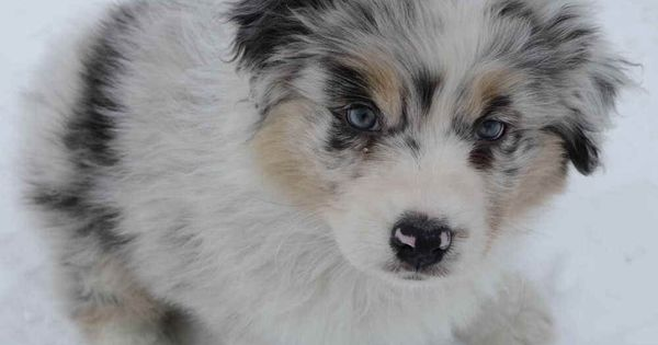 Robin Australian Shepherds ~ Aussie puppies 2010 are Claddagh's puppies are Remi