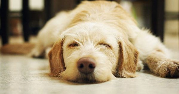 تفسير رؤية الكلاب في المنام للعزباء لابن سيرين والنابلسي موقع مصري Sleeping Dogs Dog Sleeping Positions Cute Animal Videos