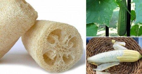 Cómo Cultivar Luffa Para Hacer Tu Propia Esponja Vegetal En Casa Bioguia Esponja Vegetal Huerto Vegetal Plantar Verduras