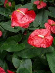 Identify Poisonous House Plants Anthurium Plant Orchid Plant Care House Plants